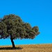Small photo of Ubuntu wallpaper holm oak