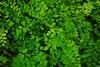 Maidenhair fern by jenny-bee