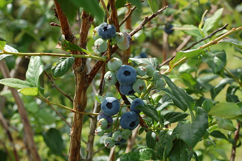 Bluberries by Eve Fox, Garden of Eating blog, copyright 2011