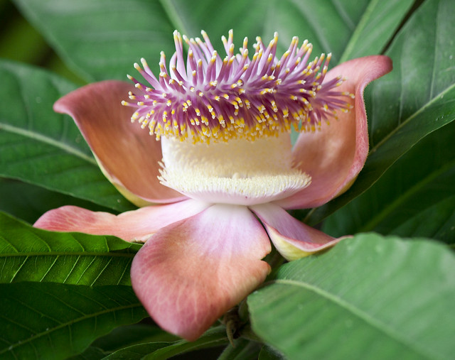 Nag Champa/ Couroupita guianensis/Cannonball Tree Flower Thank you for over 5000+ views !