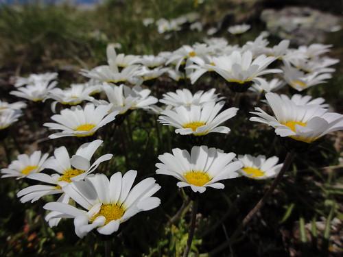 Leucanthemopsis alpina - Eisenhut