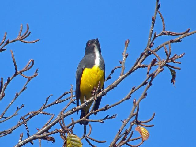 Yellow-bellied Flowerpecker, Mount Victoria, Myanmar