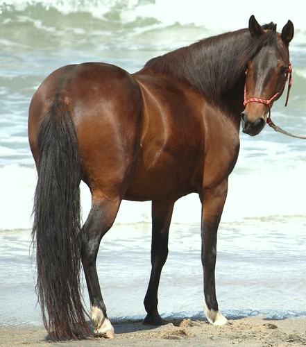 Paso Fino at the beach