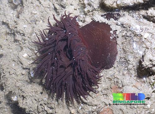 Burgundy anemone (Bunodosoma goanense)