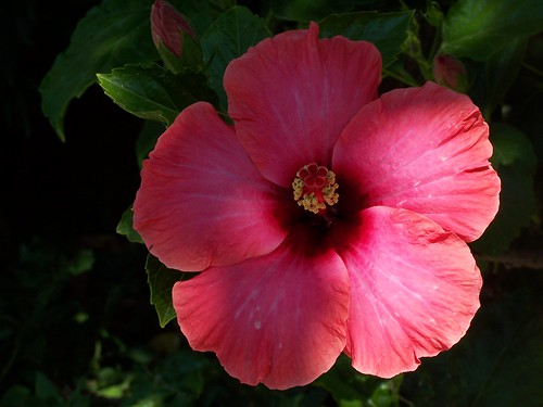 Smiling Hibiscus on holiday
