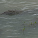 Small photo of American crocodile, Chagres river