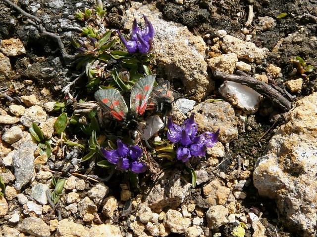 Raiponce du Piémont =Phyteuma pedemontanum - Col d'Etache (2700m) 061