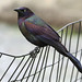 Common Grackle - Photo (c) Maris Pukitis, some rights reserved (CC BY-NC-SA)