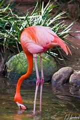 animal(1.0), fauna(1.0), beak(1.0), ibis(1.0), flamingo(1.0), bird(1.0), wildlife(1.0),