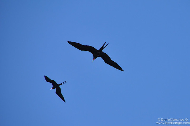 Aves Fragatas
