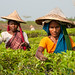 Tea Gardens of Srimongal, Bangladesh