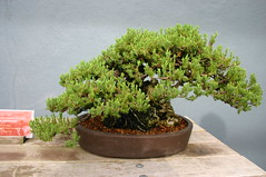 shrub, flowerpot, soil, tree, plant, sageretia theezans, houseplant, bonsai,
