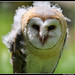 Barn Owl by dralun10