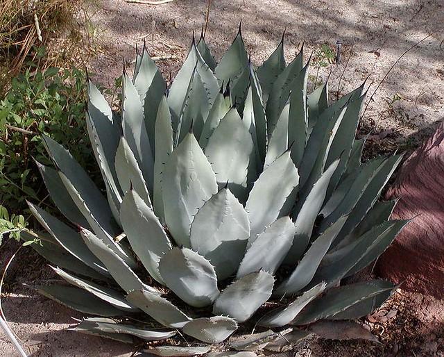 Header of Agave palmeri