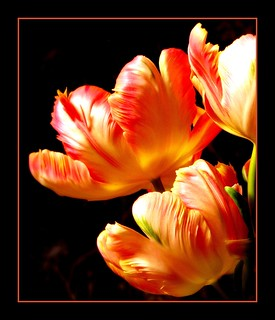 My beloved parrot tulips