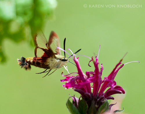 Hummingbird Clearwing Moth 1