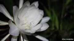 flower, macro photography, flora, close-up, epiphyllum oxypetalum, petal,