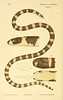 "<a href=""http://www.flickr.com/photos/biodivlibrary/5998816804/"">Photo of Vermicella annulata by Biodiversity Heritage Library</a>"