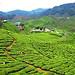 Small photo of Tea farm