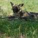 Small photo of African Wild Dog (Lycaon pictus)