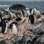 Chinstrap Penguins at Point Wild, Elephant Island