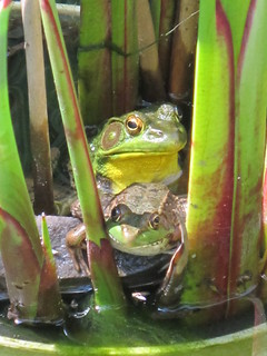 Frogs in the pond...