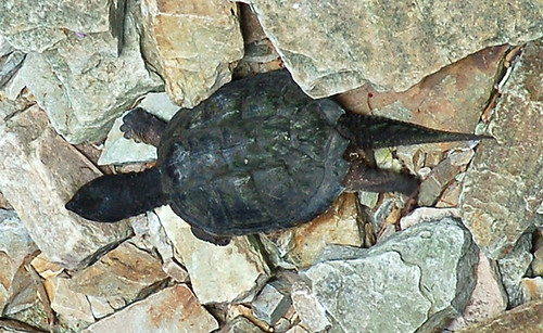 A beautiful Turtle at the Ausuble Chasam in the Adirondacks