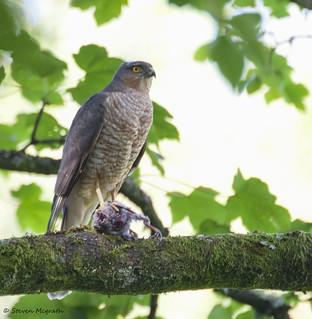 Sparrowhawk on plucking post