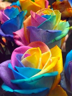 Rainbow Rose 3:虹薔薇