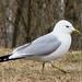 Common Gull - Photo (c) Kari Pihlaviita, some rights reserved (CC BY-NC)