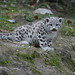 Tiny snow leopard cub
