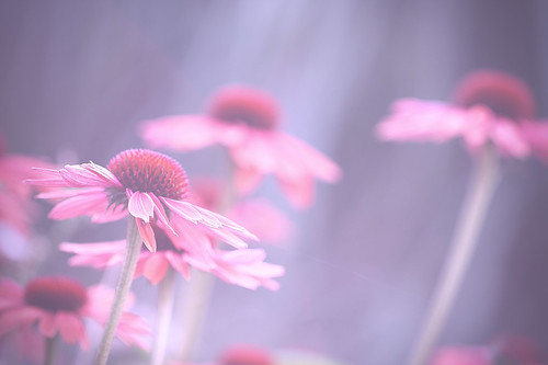morning pink flowers blue light summer white toronto ontario canada black flower green canon petals stem dof purple bokeh petal coneflower musicgarden alienskin morningdewphotography t1i ef100l