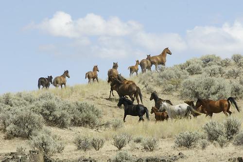 horses wildlife wildhorses equine mustangs equus