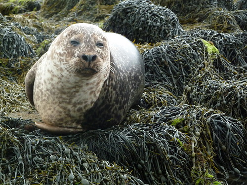 Common Seal at Dunvegan Castle