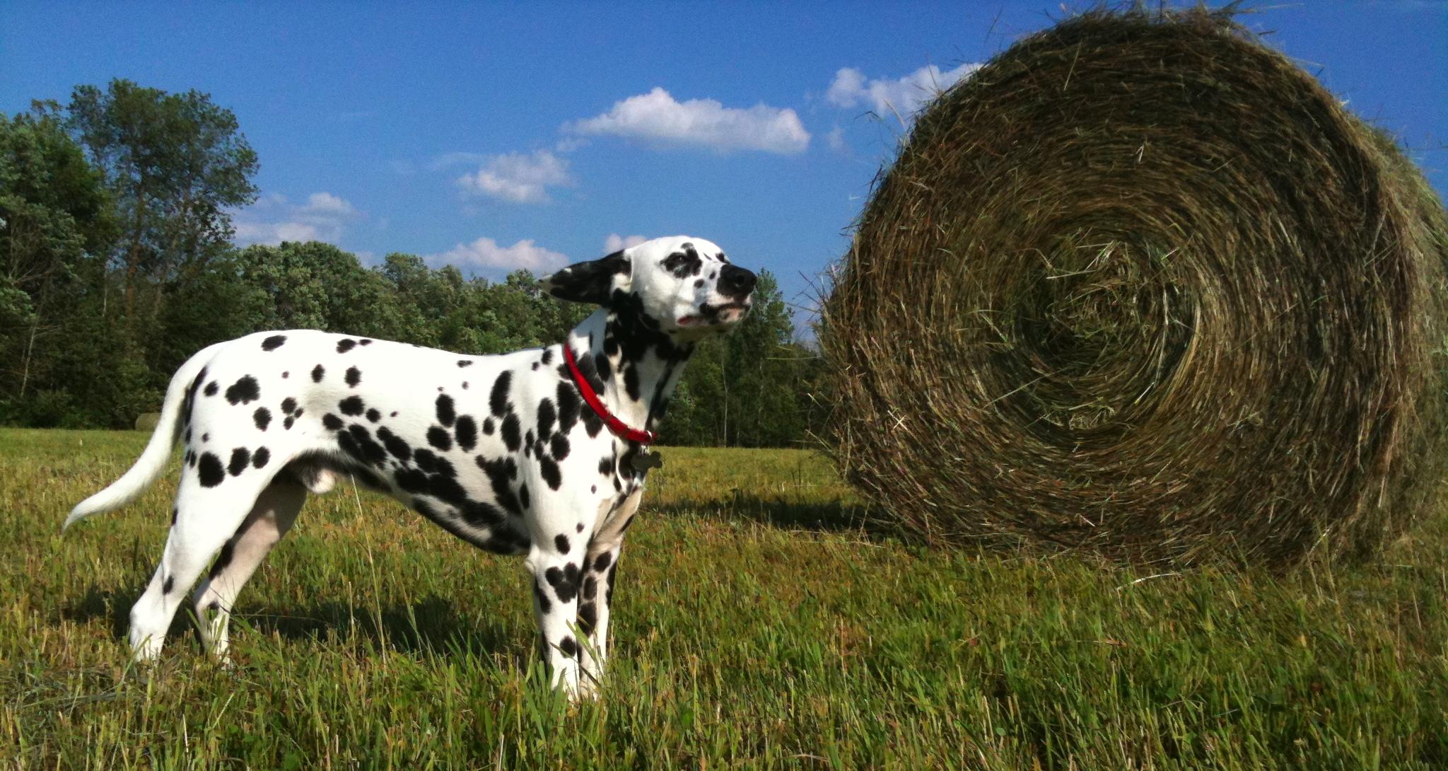 Making A Dalmatian Dog Costume
