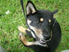 puppy(0.0), shiba inu(0.0), shikoku(0.0), karelian bear dog(0.0), east siberian laika(0.0), dog breed(1.0), animal(1.0), lapponian herder(1.0), australian kelpie(1.0), dog(1.0), pet(1.0), lancashire heeler(1.0), mammal(1.0),