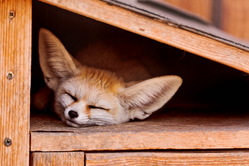 Sleeping fennec fox