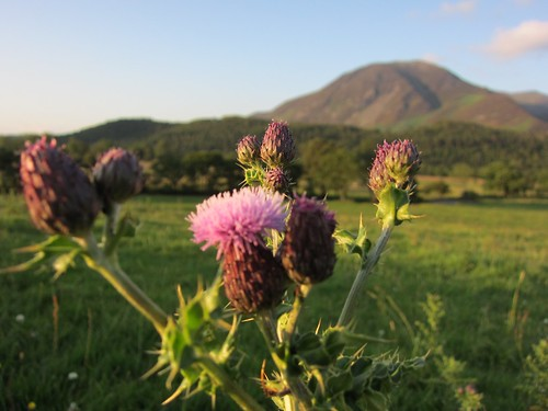 thistles and hills