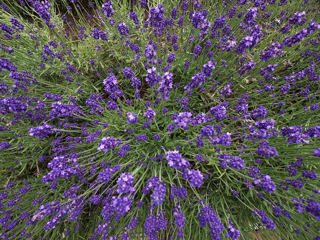 Roots of a lavender