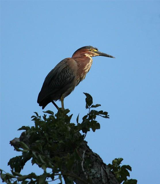 Green heron at Couchville Lake