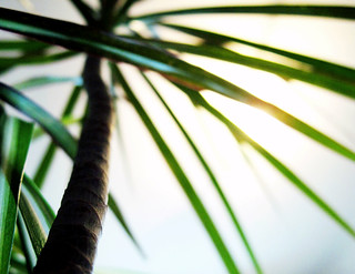 (208/365) Palm tree