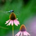 dragonfly on cone flower