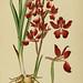 Album des orchidées de l'Europe centrale et septentrionale