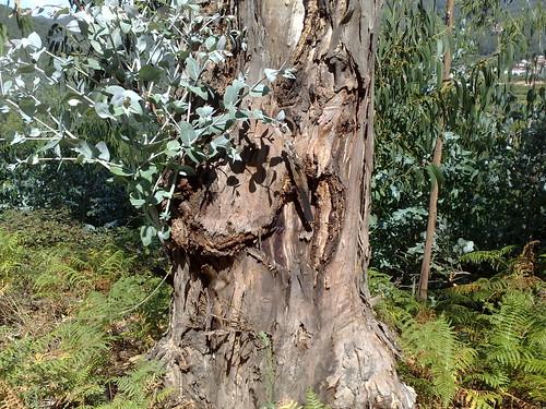 Eucalipto maduro
