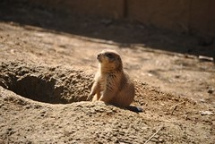 animal, squirrel, rodent, prairie dog, fauna, marmot, whiskers, meerkat, wildlife,