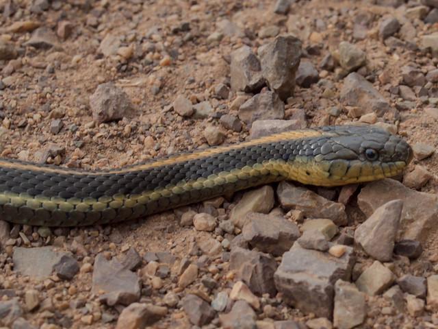 Common Garter Snake Thamnophis Sirtalis Flickr Photo