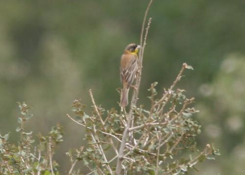 birds israel buntings blackheadedbunting emberizamelanocephala buntingssparrowsandallies