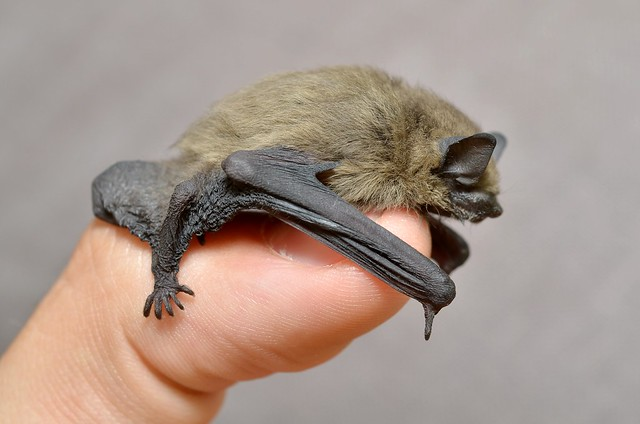 Common Pipistrelle bat. Image: Giles San Martin. Some Rights Reserved