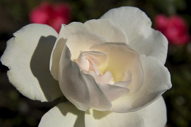 ... zum Gedenken an die weiße Rose .. heute vor 68 Jahren ...