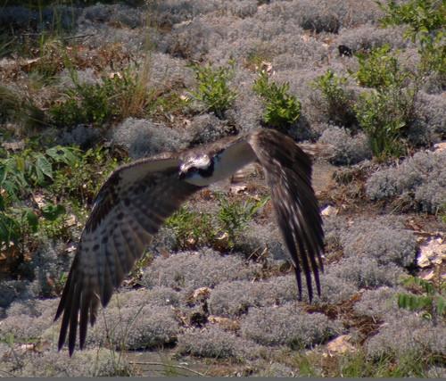 Osprey flying by steelers_#1fan